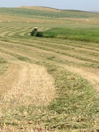 Cutting Cover Crop